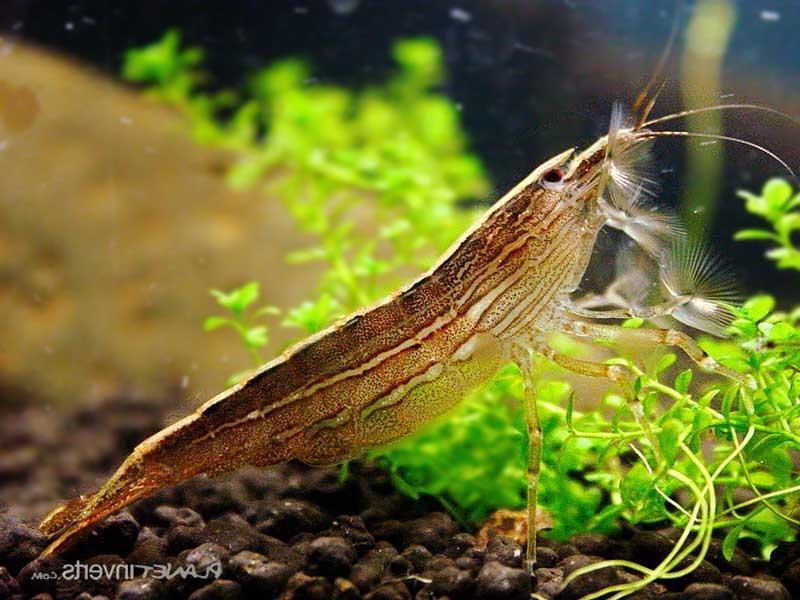 https://myaquas.ru/wp-content/uploads/2016/12/shrimp-philtrator-atyopsis-moluccensis.jpg