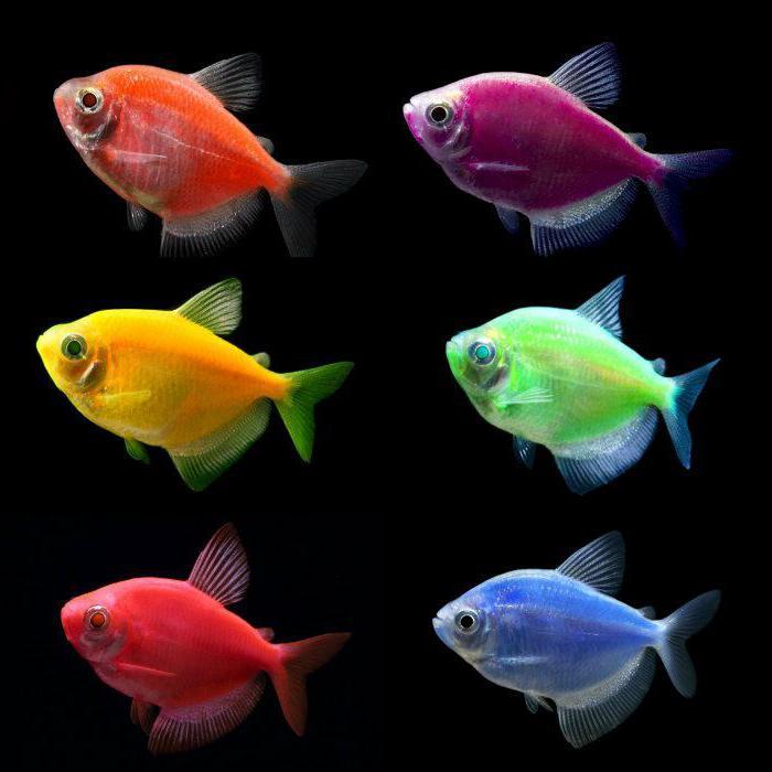 Тернеции разноцветные