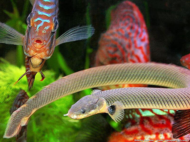 Калабарский каламоихт рыба змея (erpetoichthys calabaricus)-