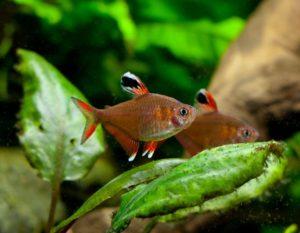 орнатус обыкновенный (Hyphessobrycon bentosi)