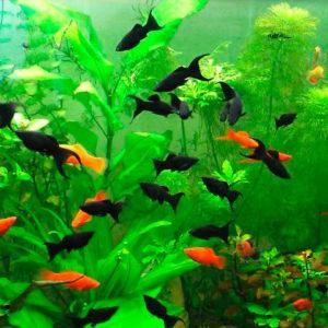 Моллинезии и меченосцы в аквариуме