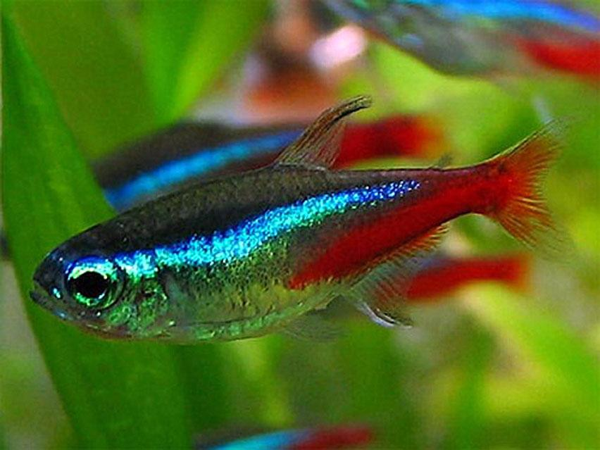 The Ultimate Guide To Sucessfully Keeping Neon Tetras