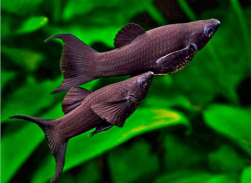 черная моллинезия самец и самка