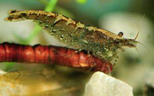 аквариумные креветки Неокаридина Пальмата