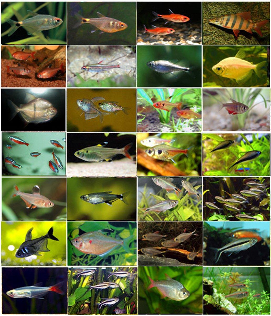 семейство Characidae – Харациновые