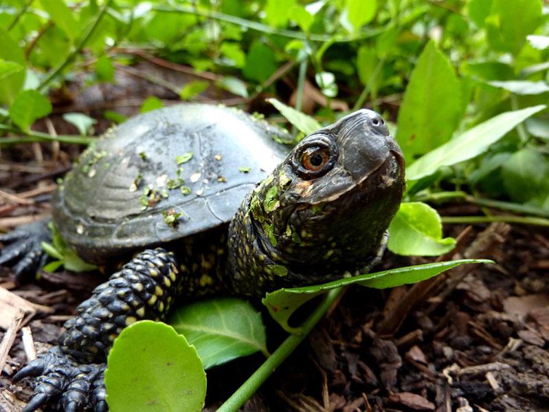 болотная черепаха в террариуме
