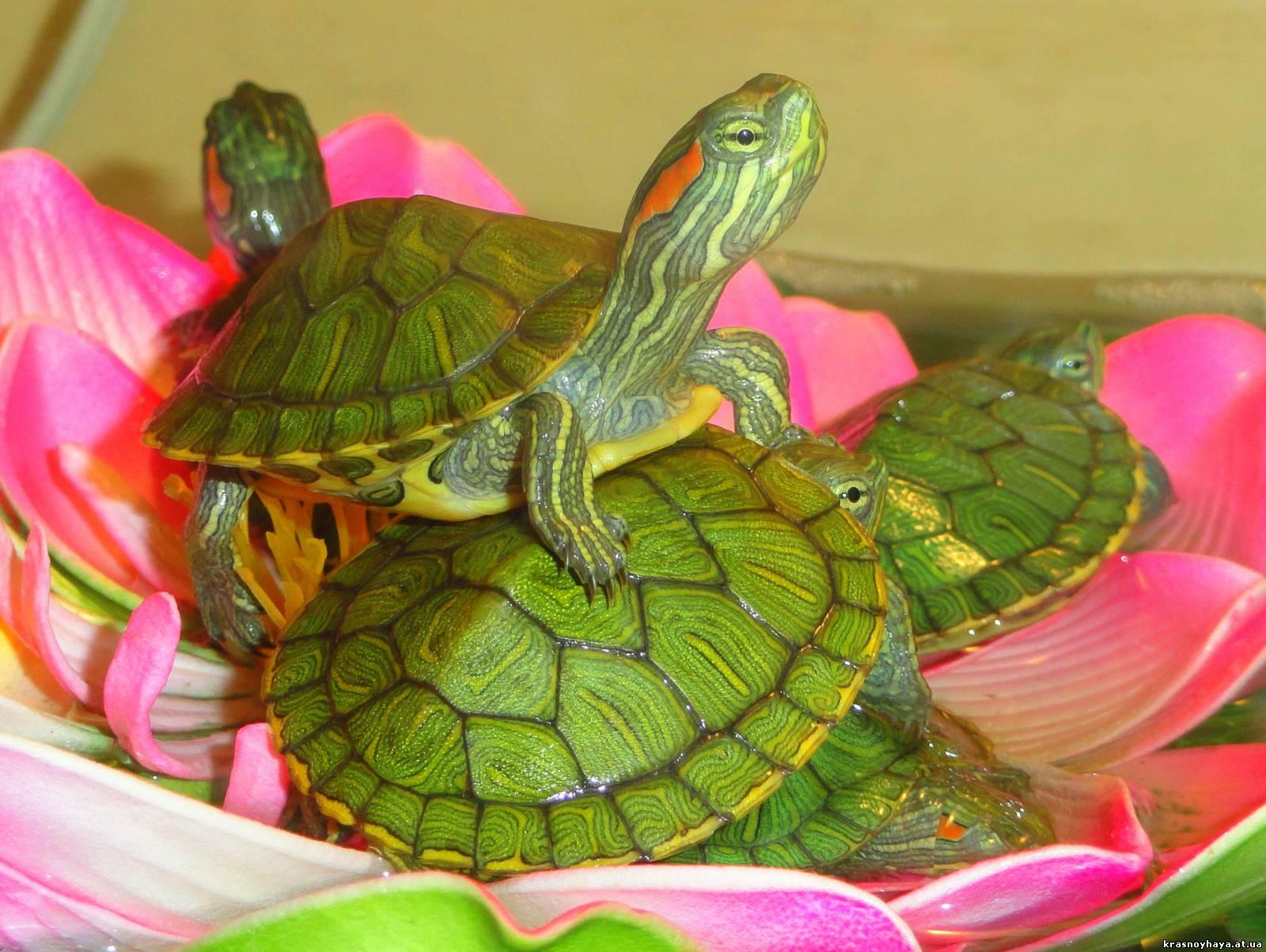 красноухая черепаха мелкая