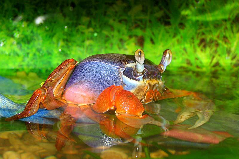 краб аквариумный