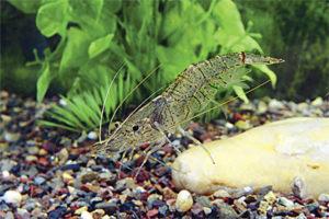 Дальневосточная креветка в аквариуме