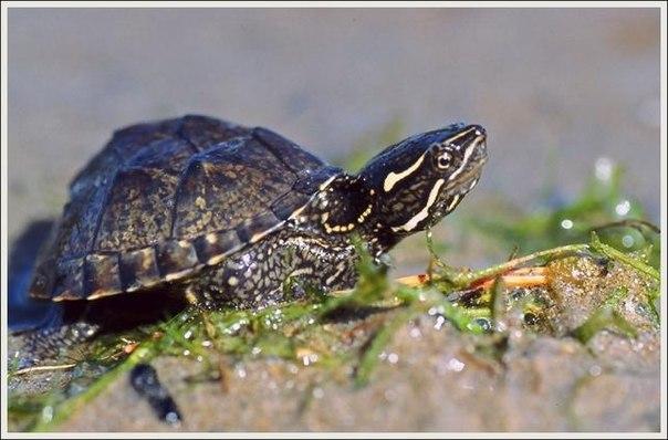 мускусная черепаха Sternotherus_odoratus