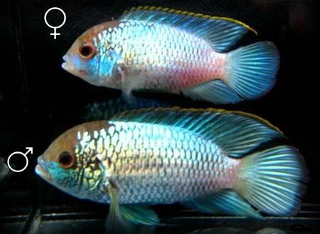 наннакара неоновая самец и самка различие