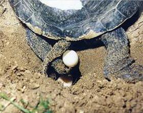 размножение болотных черепах