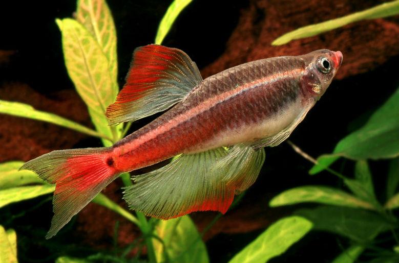 Рыбка кардинал вуалевая