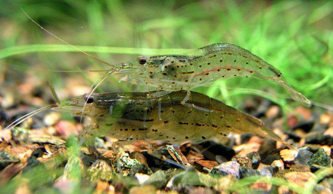 Креветка фильтратор самец и самка