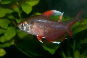 "орнатус белоплавничный (Hyphessobrycon sp.""white fin"")"
