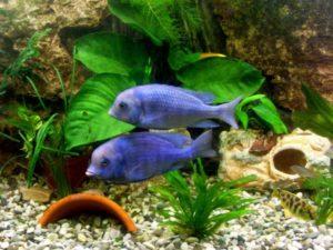 Как сделать их жизнь комфортной? Аквариумные условия содержания во-многом определяют поведение этих рыб. Так, чувствуя себя свободно в объеме воды 200-250 л, они уверенно плавают, с интересом обследуют гроты и арки (сделать их нужно заранее), могут начать изучать корневую систему растений. Обитают в нижних и средних слоях воды, любят хорошую аэрацию и не терпят грязи. Оптимальной температурой воды является 24-28оС, но пара градусов в любую сторону негативной роли не сыграют. К жесткости особых претензий нет: приемлемые показатели в пределах 5-20о. Норма щелочного показателя – 7,2-8,5 (сдвиг больше в щелочную сторону). Но даже обеспечив стабильность таких параметров, раз в неделю треть воды следует менять на свежую. Любят выходцы с африканского континента яркое освещение, хотя блуждать вокруг коряг и прятаться в пещерах для них – приятное времяпровождение. Грунт желательно выбирать песчаный, с крупнозернистой структурой. Цвет значения не имеет. Растения подойдут с мощной корневой системой, прочно закрепляющиеся в грунте. Вторым вариантом, позволяющим обеспечить их сохранность, является посадка в специальные горшочки, которые расставляются на дне соответственно задумкам дизайнера. Дельфины не любят жить в одиночестве. Наилучший вариант для них, когда на одного самца приходится 2 самки (если позволяет территория, гармоничным также будет проживание двух самцов и трех самок).