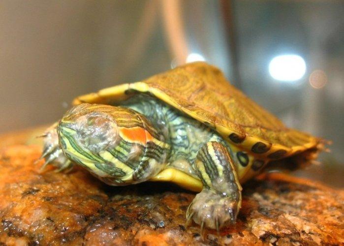 Проблемы с глазами у красноухих черепах
