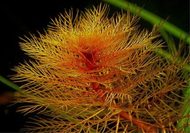 ПЕРИСТОЛИСТНИК КРАСНЫЙ (Myriophyllum mattogrossense)