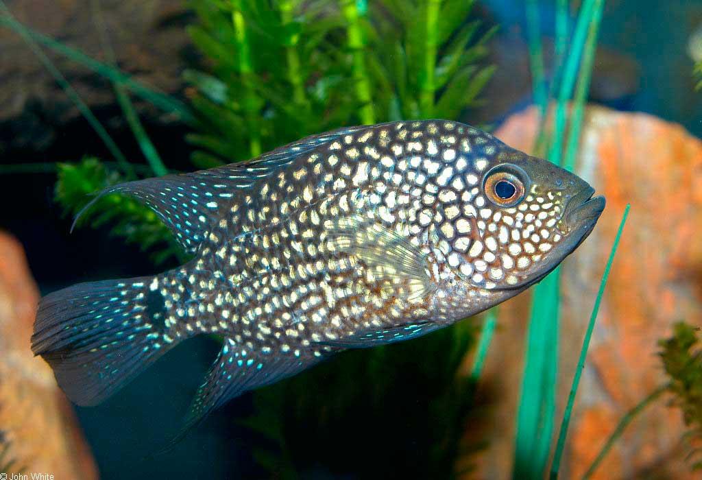 бриллиантовая цихлазома (Herichthys cyanoguttatus)
