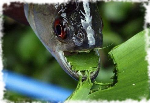 рыбка ест водоросли