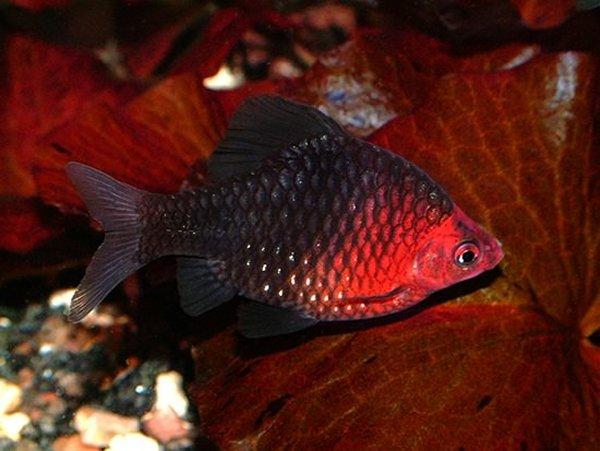 аквариумная рыбка барбус черный