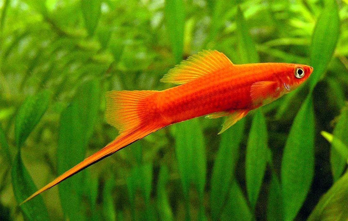 меченосец аквариумный красный