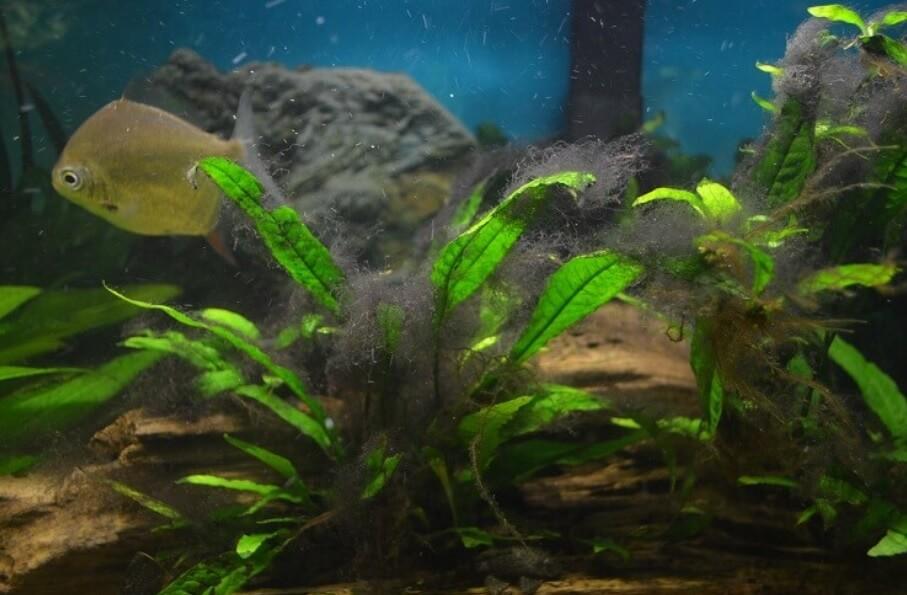 Черная борода в аквариуме.