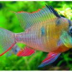 аквариумные рыбки апистограмма классическая