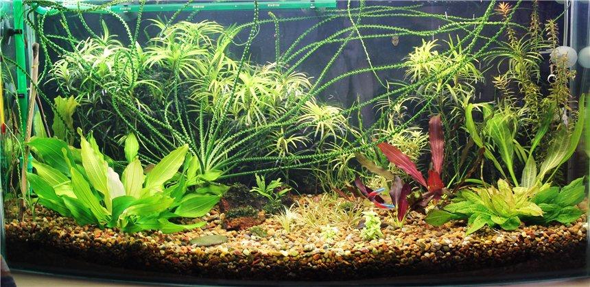 Кринум аквариумный