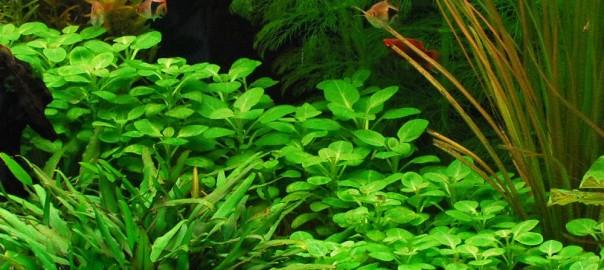 Лобелия кардинальская (Lobelia cardinalis).