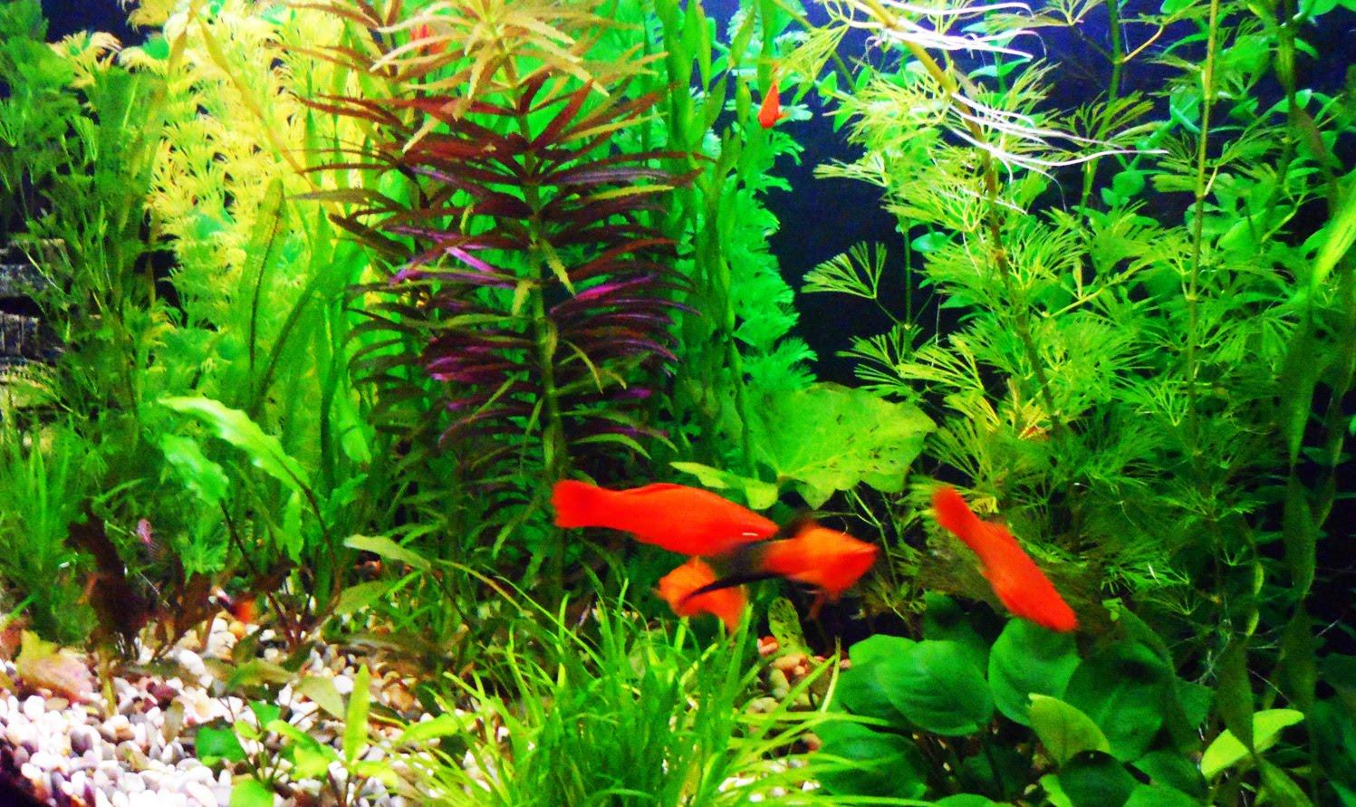 аквариумные растения анубиас как разводить