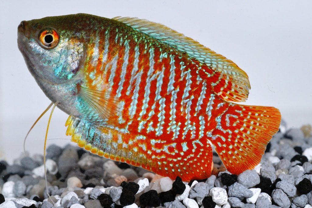 Аквариумная рыбка Лялиус : содержание и уход за рыбкой, совместимость с другими рыбками, разведение и размножение, фото и видео | Мир домашних животных