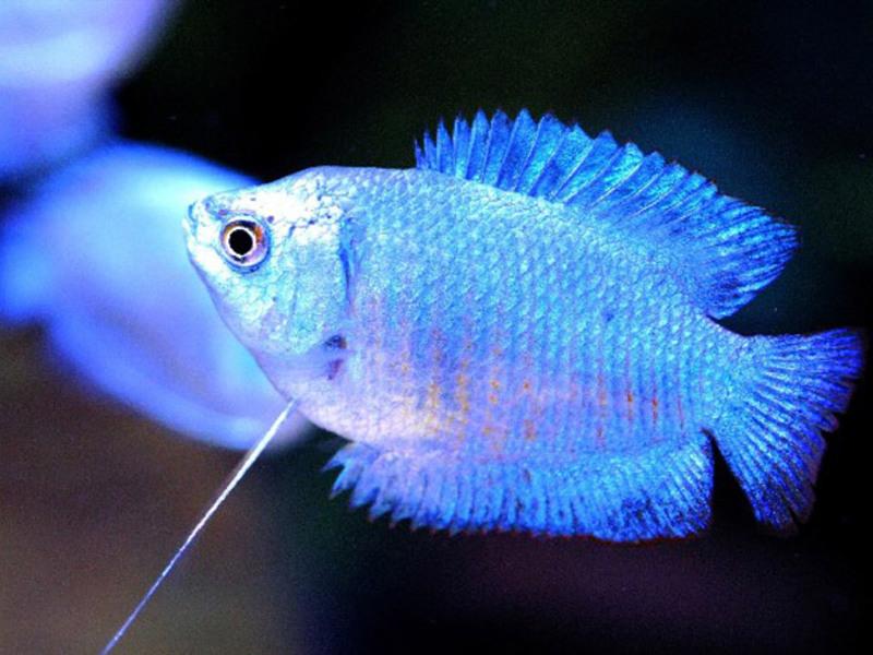 Лялиусы (аквариумные рыбки): уход и содержание, виды, совместимость, нерест, разведение, размножение, описание