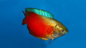 Рыбки лялиусы: olisa lalia