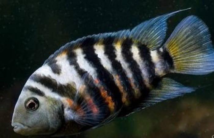 Цихлазома чернополосая - содержание и размножение рыбки с фото