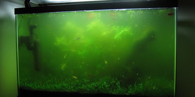 Последствия сине зеленых водорослей