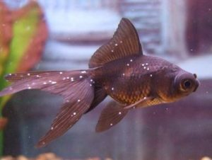 "Манка"" (ихтиофтириоз) у аквариумных рыбок. Лекарство от ""манки"""