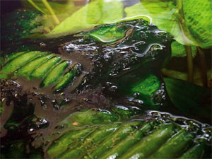 Сине-зелёные водоросли и борьба с ними - водоросли в аквариуме, низшие растения