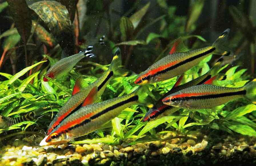 Барбус денисони в аквариуме
